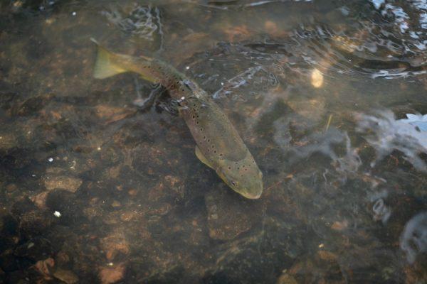 Große Forellen kann man im Stadtzentrum oft sehen, wie diese hier, die rund einen halben Meter lang ist.