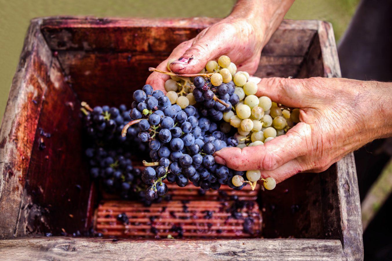 Von der Rebe bis zum Wein