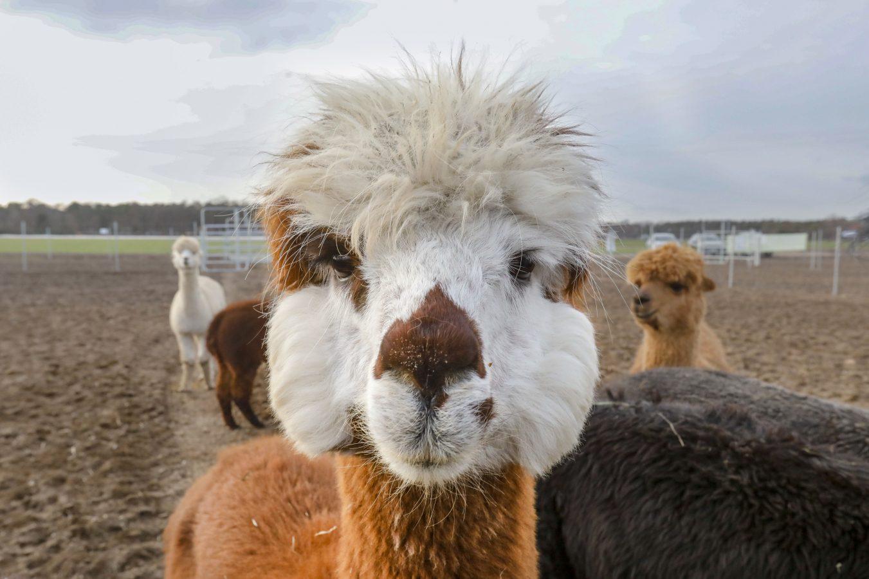 Flauschalarm: Alpakas und Lamas sind auch in Darmstadt im Trend