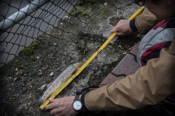 Die Bachforelle hat 30 Zentimeter. Damit liegt sie über dem Mindestmaß von 25 Zentimetern und kann mitgenommen werden.