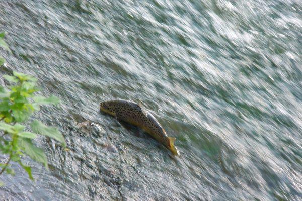 """Eine wunderschöne Bachforelle """"steht"""" auf der Betonplatte des Wiesenmühlen-Wehrs und versucht vergeblich, flussauf zu schwimmen."""