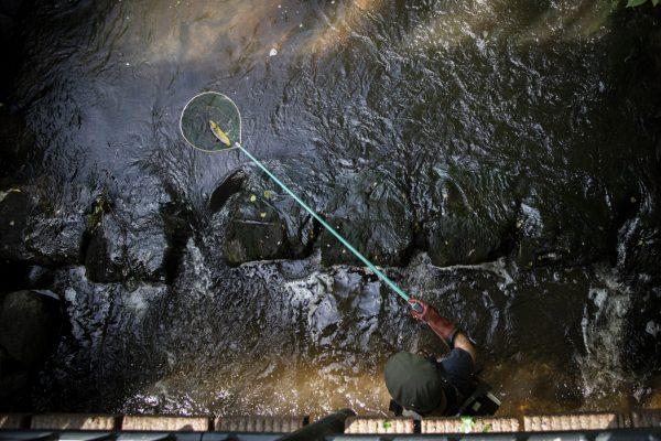 Erfolg: 80 Forellen gehen in einer knappen Stunde ins Netz, die Fischtreppe funktioniert gut.
